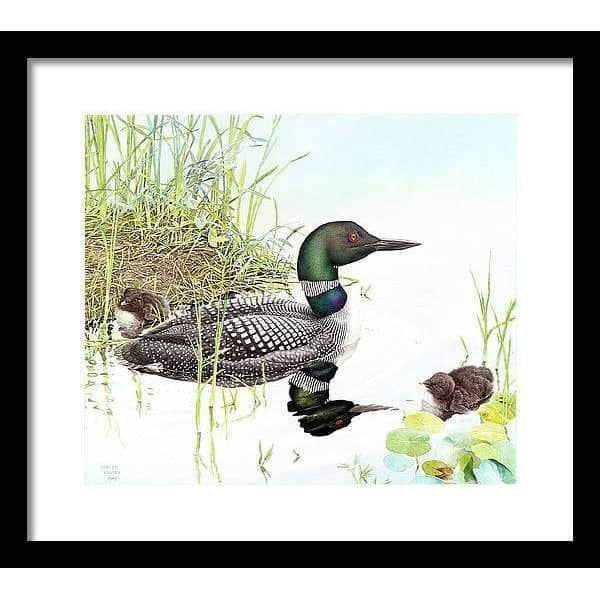 Loon with Young - Framed Print