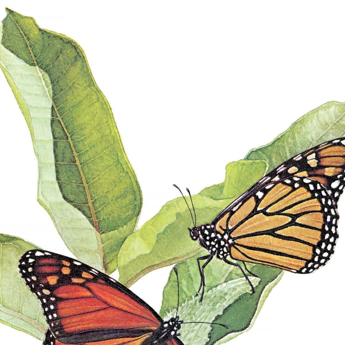 Monarch Butterflies - Art Print by Glen Loates from the Glen Loates Store