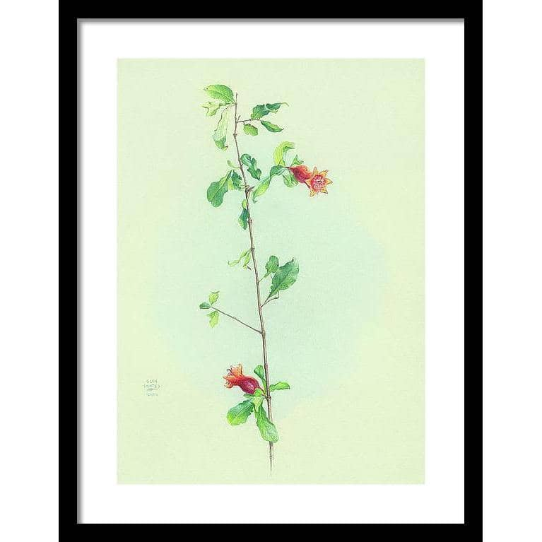 Pomegranate - Framed Print | The Official Glen Loates Store