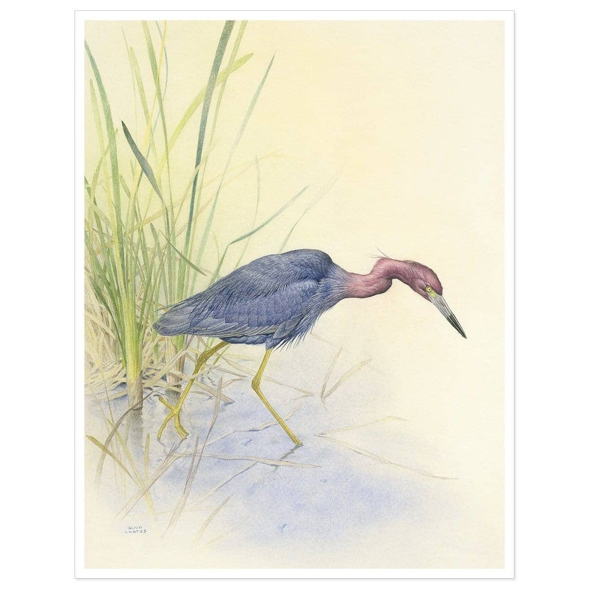 Purple Heron - Art Print by Glen Loates from the Glen Loates Store