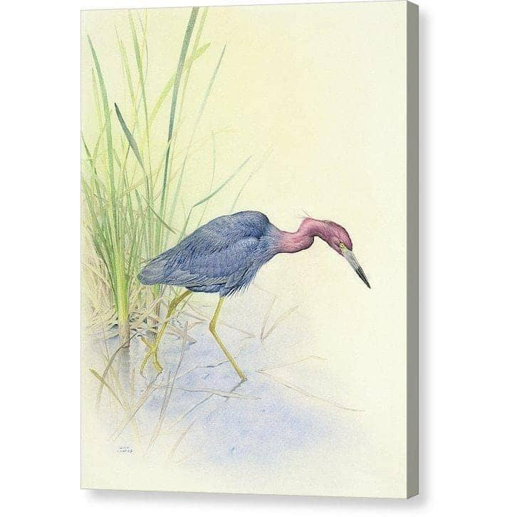 Purple Heron - Canvas Print by Glen Loates from the Glen Loates Store