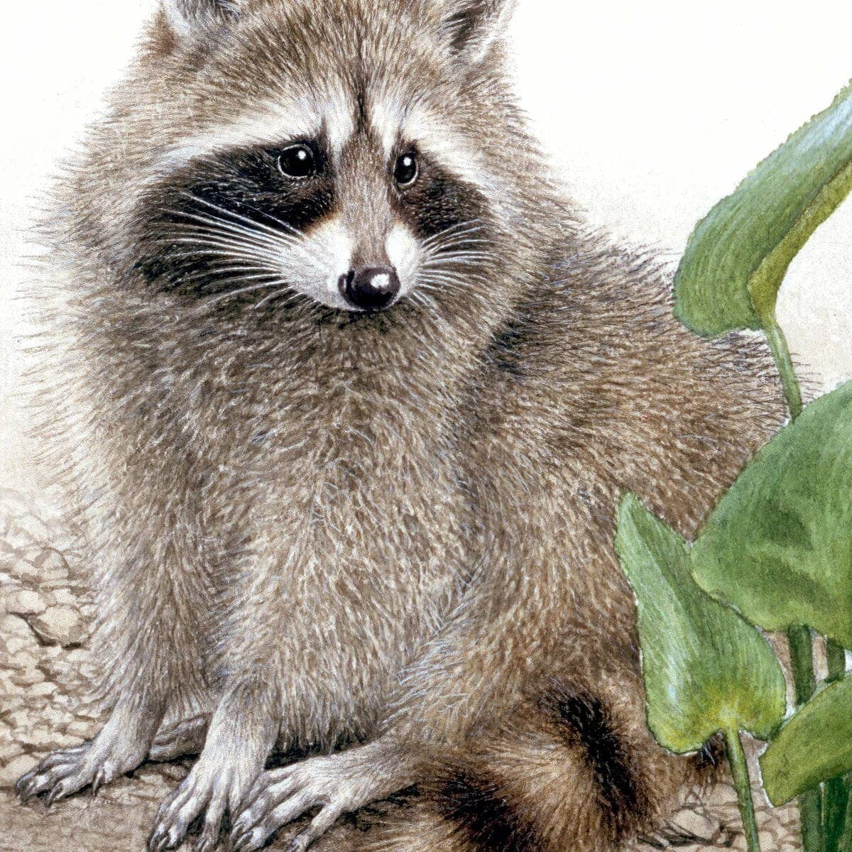 Raccoon Baby - Art Print by Glen Loates from the Glen Loates Store