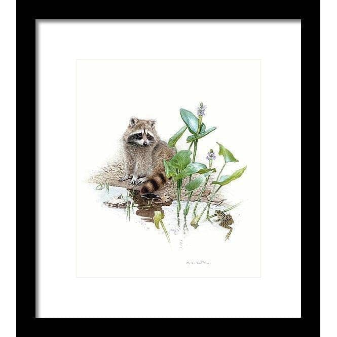 Raccoon Baby - Framed Print by Glen Loates from the Glen Loates Store