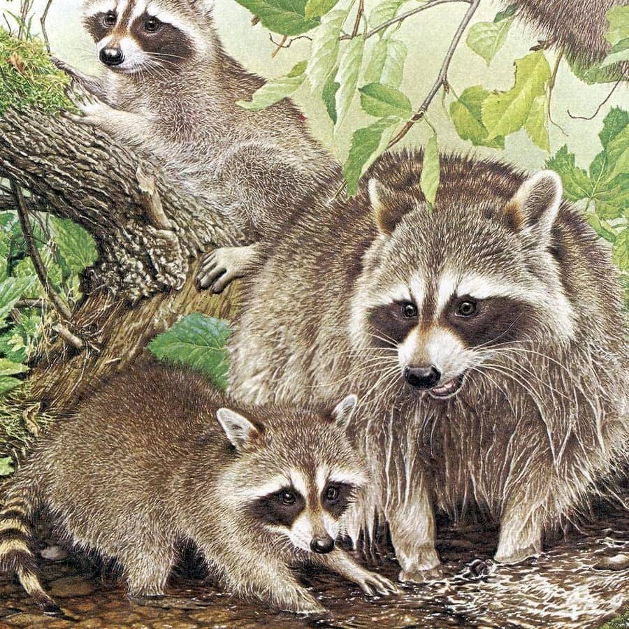 Raccoon Family - Framed Print by Glen Loates from the Glen Loates Store
