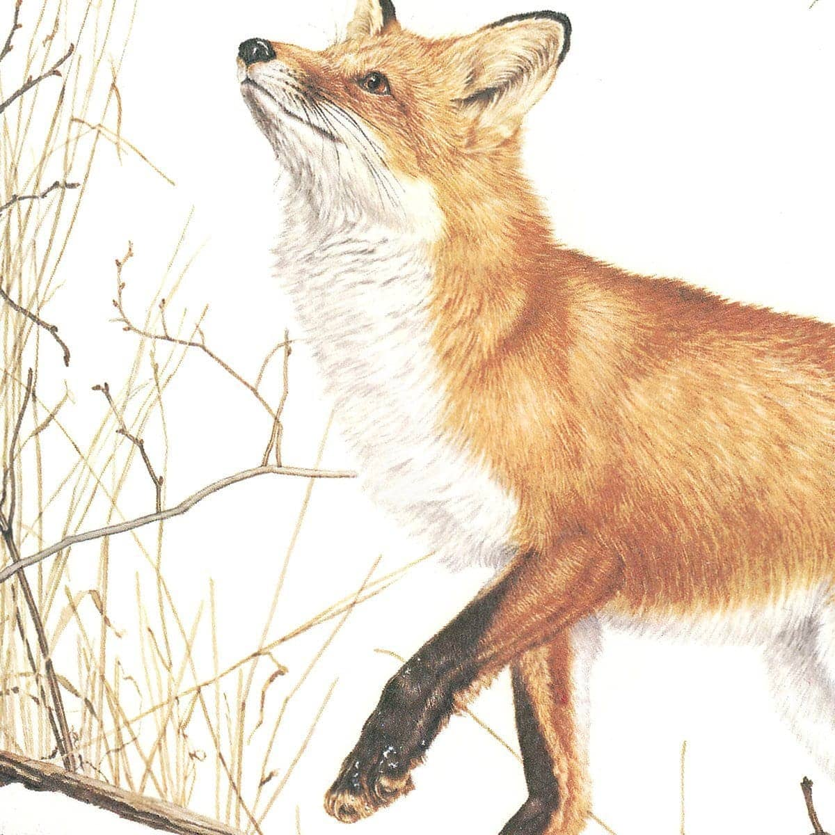 Red Fox And Ring-necked Pheasant - Art Print by Glen Loates from the Glen Loates Store