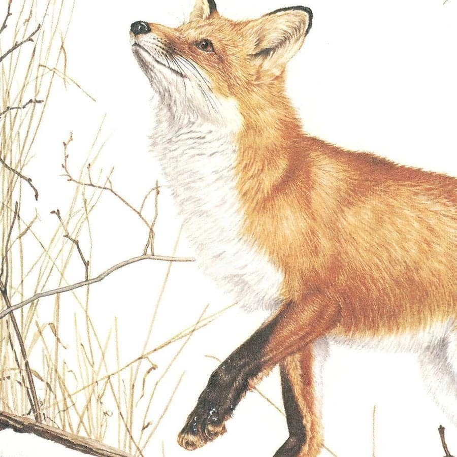 Red Fox and Ring-necked Pheasant - Canvas Print by Glen Loates from the Glen Loates Store