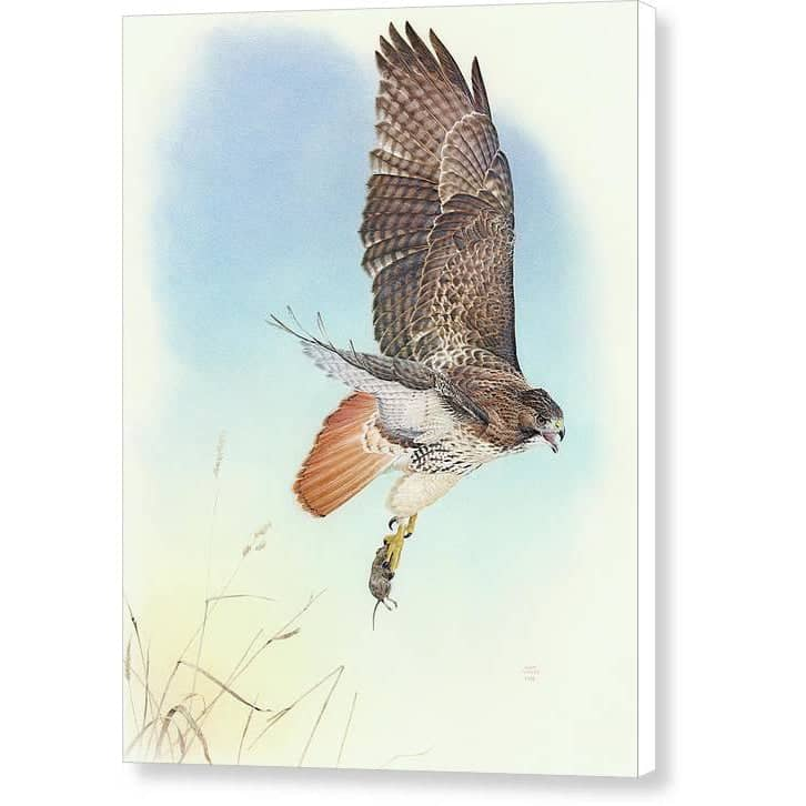 Red-tailed Hawk - Canvas Print