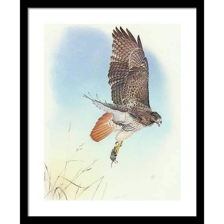 Red-tailed Hawk - Framed Print
