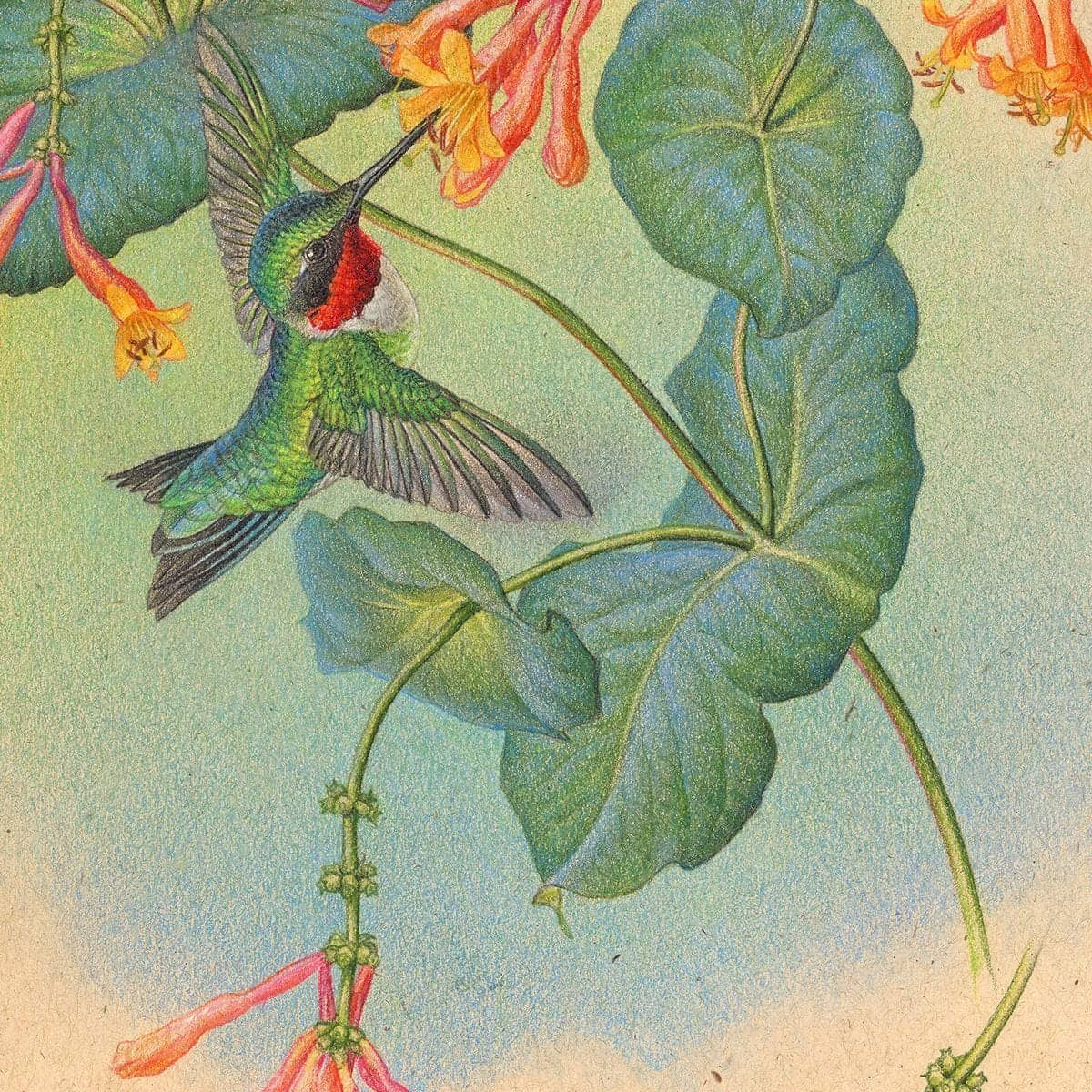 Ruby-throated Hummingbirds with Trumpet Flower - Art Print by Glen Loates from the Glen Loates Store