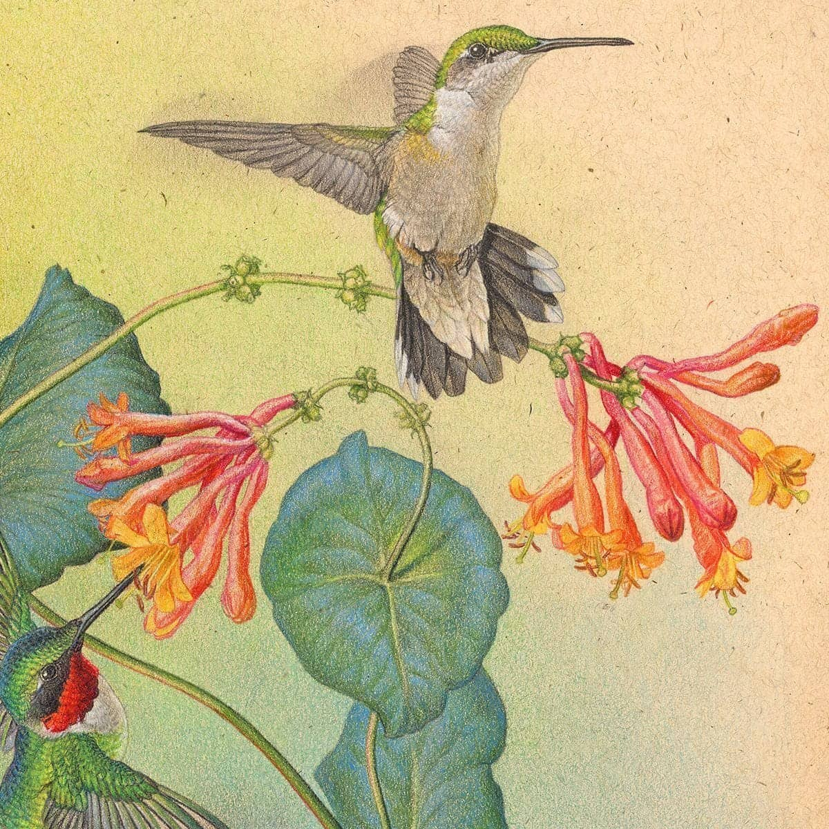 Ruby-throated Hummingbirds with Trumpet Flower - Canvas Print by Glen Loates from the Glen Loates Store