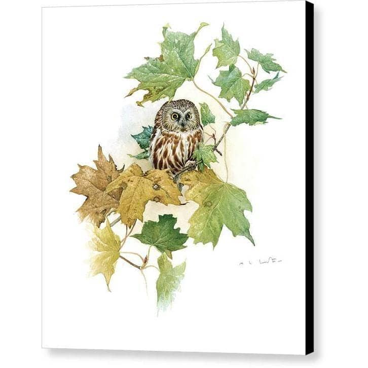 Saw-Whet Owl in Maple Tree - Canvas Print