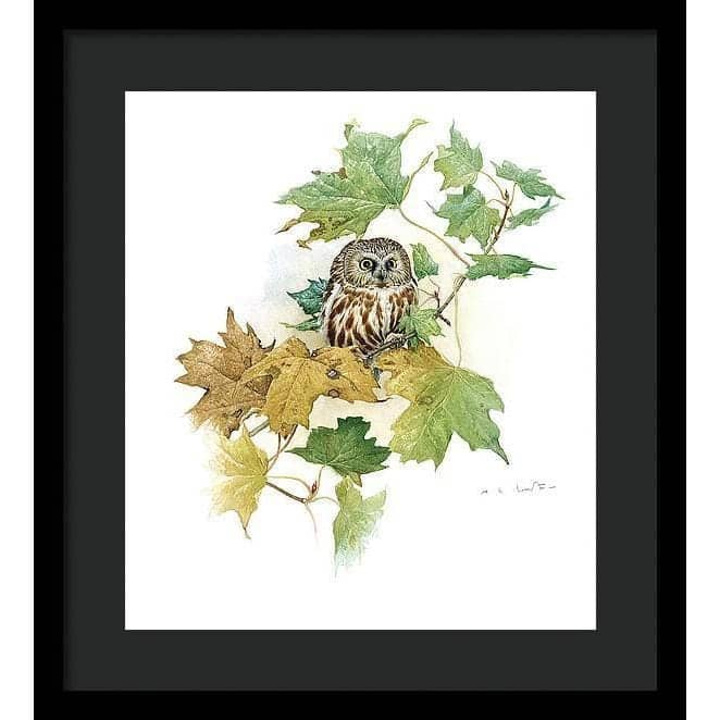 Saw-Whet Owl in Maple Tree - Framed Print
