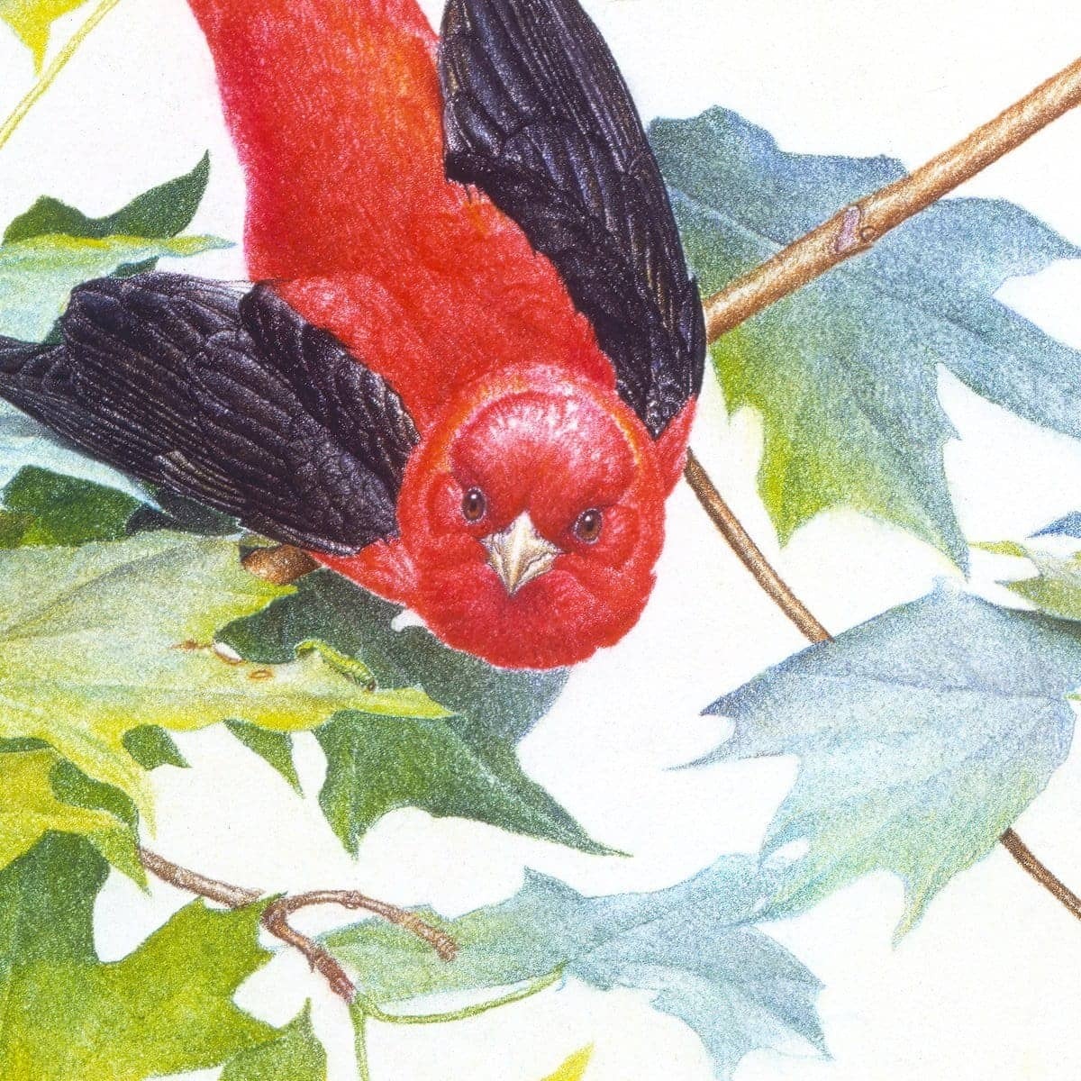 Scarlet Tanagers - Art Print by Glen Loates from the Glen Loates Store
