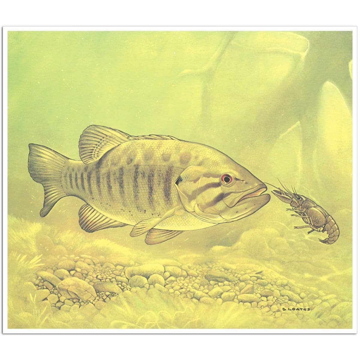 Small Mouth Bass Pursuing Crayfish - Art Print by Glen Loates from the Glen Loates Store