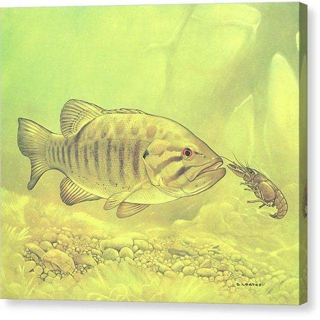 Small Mouth Bass Pursuing Crayfish - Canvas Print by Glen Loates from the Glen Loates Store