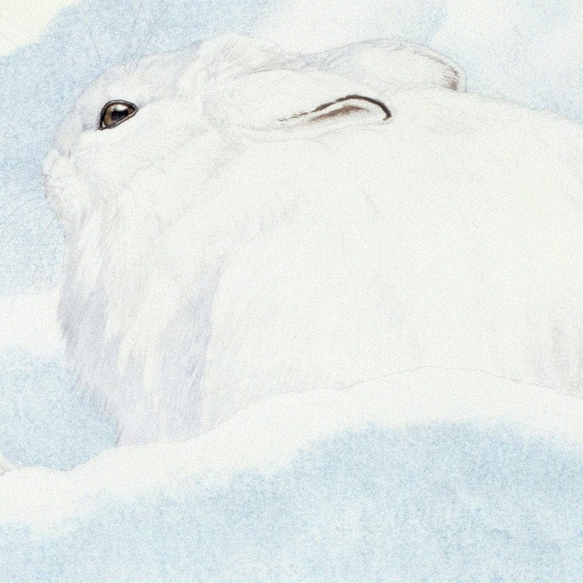 Snowshoe Hare - Art Print by Glen Loates from the Glen Loates Store