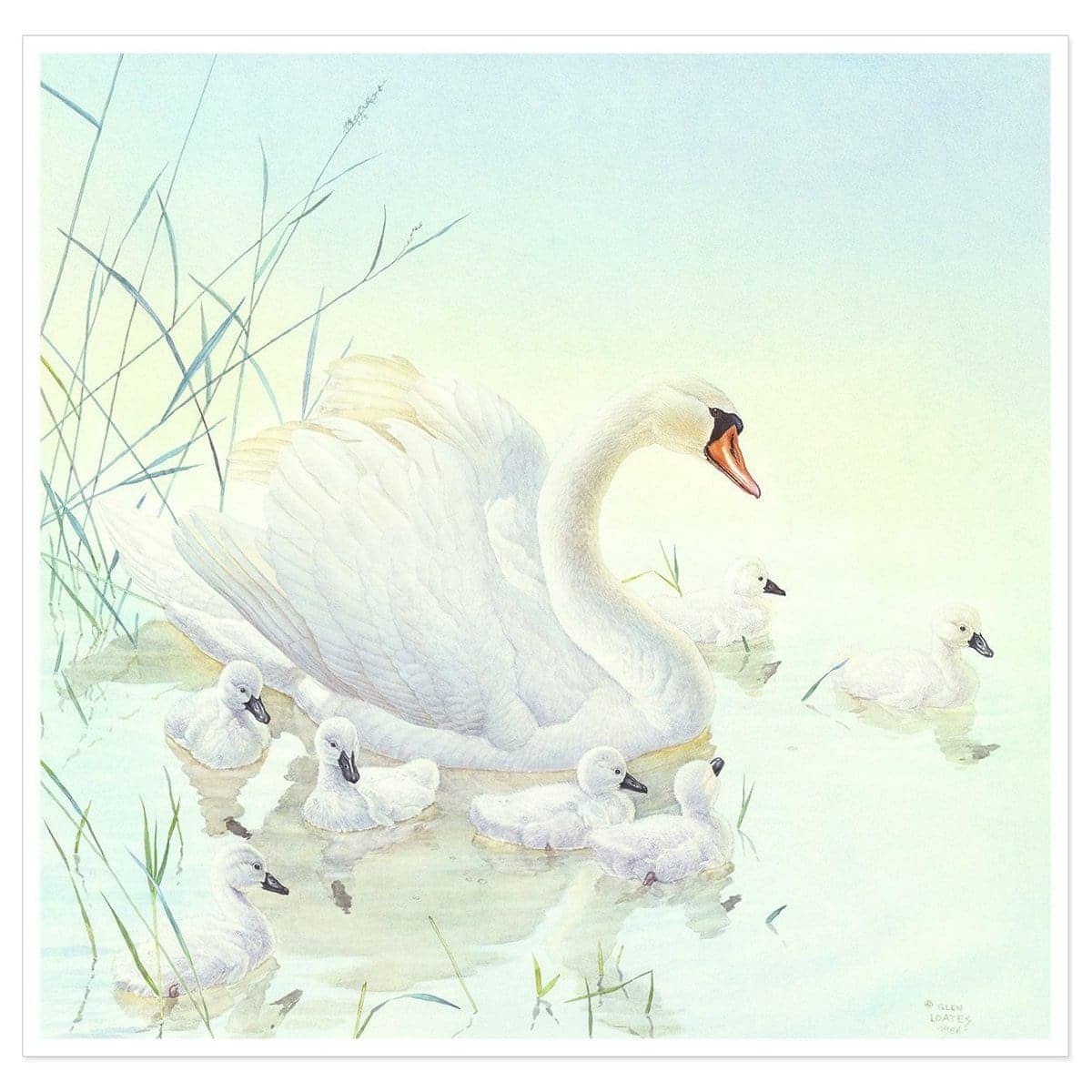 Swan Family - Art Print by Glen Loates from the Glen Loates Store