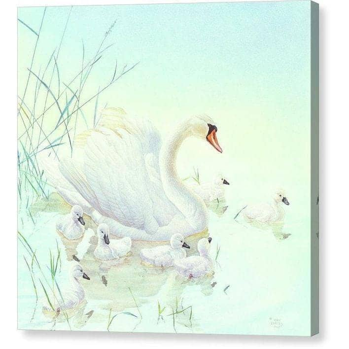 Swan Family - Canvas Print by Glen Loates from the Glen Loates Store