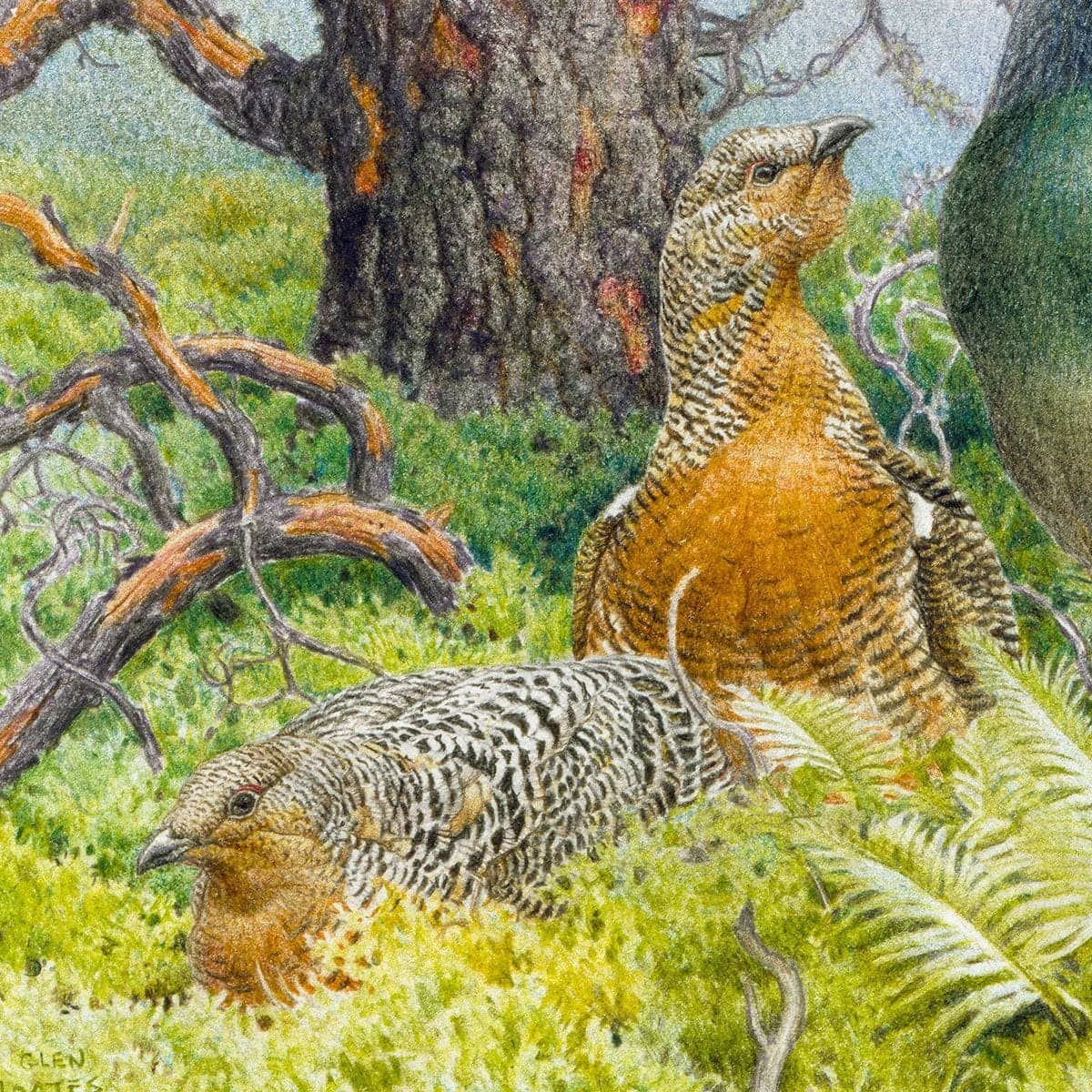 Western Capercaillie - Art Print by Glen Loates from the Glen Loates Store