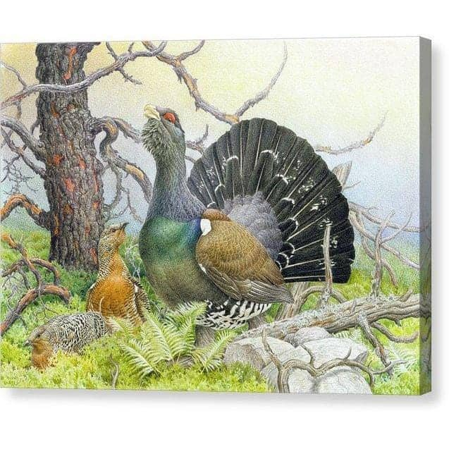 Western Capercaillie - Canvas Print by Glen Loates from the Glen Loates Store