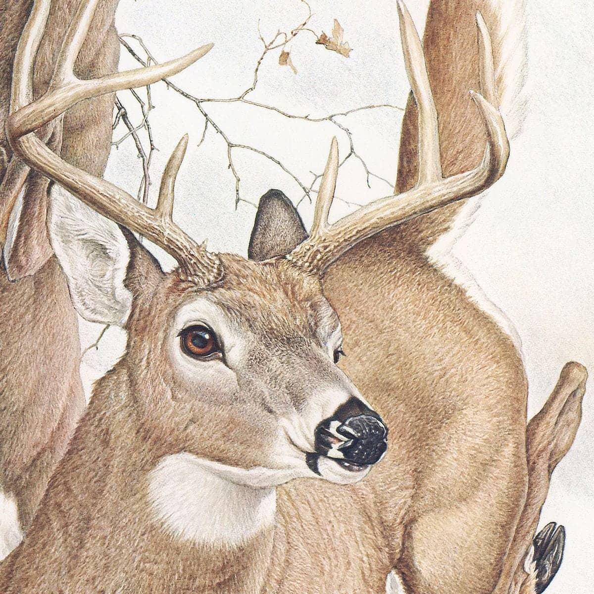 White-tailed Deer - Art Print by Glen Loates from the Glen Loates Store
