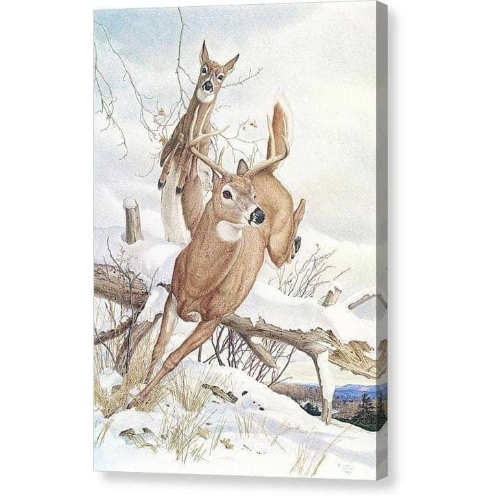 White-tailed Deer - Canvas Print by Glen Loates from the Glen Loates Store