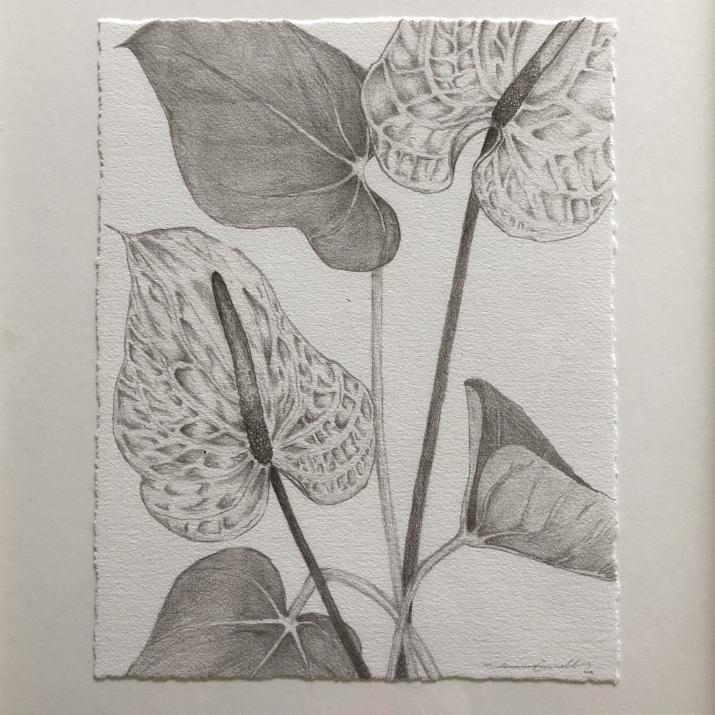 pencil drawing of anthuriums
