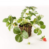 Strawberry plant (Sonata) 10-pack