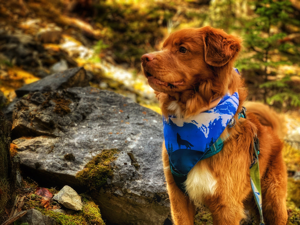 Dog Toller Dog wearing the Rocky Mountain Dog Canmore Three Sisters Banadana