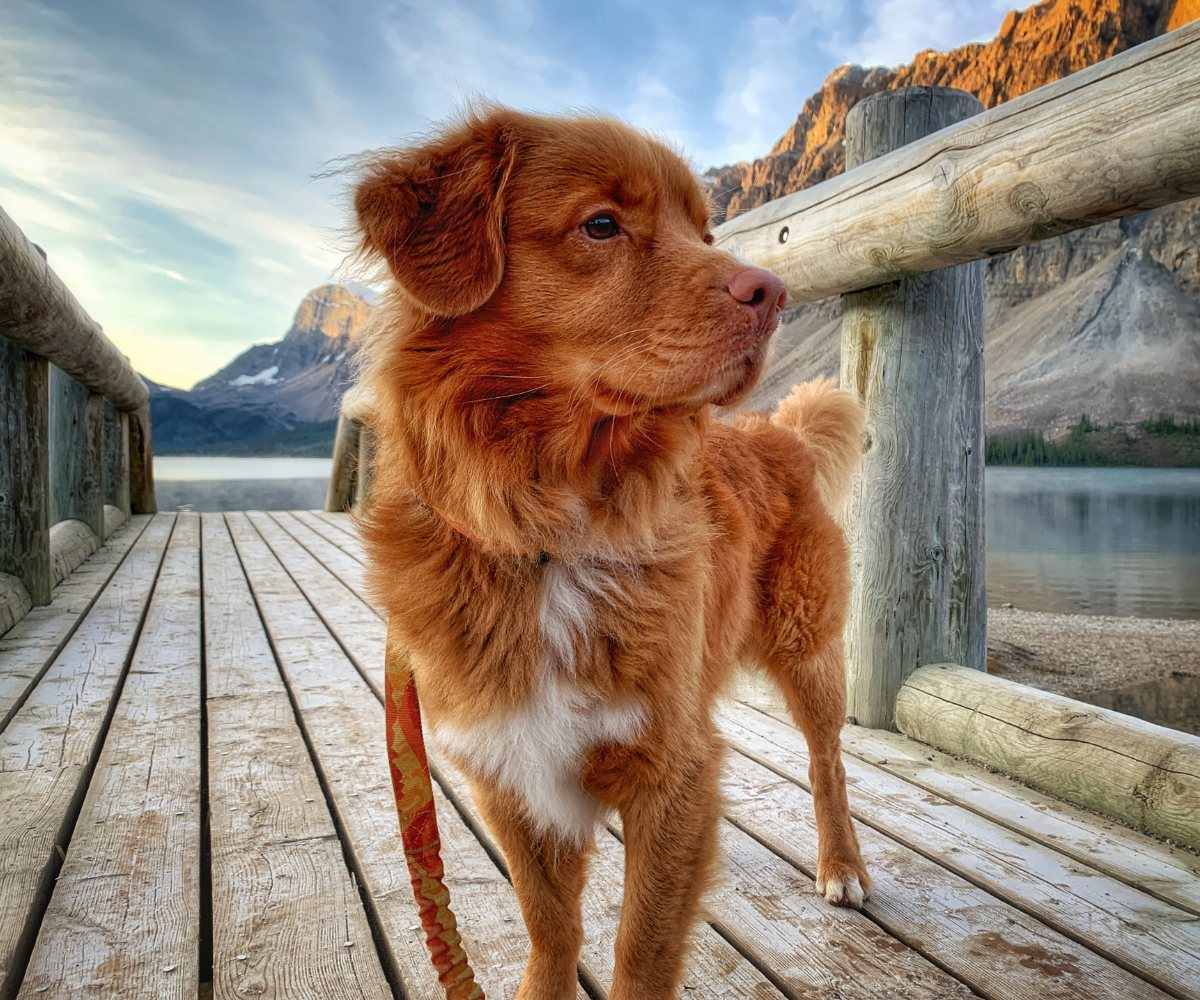 dog on bridge bow lake banff alberta