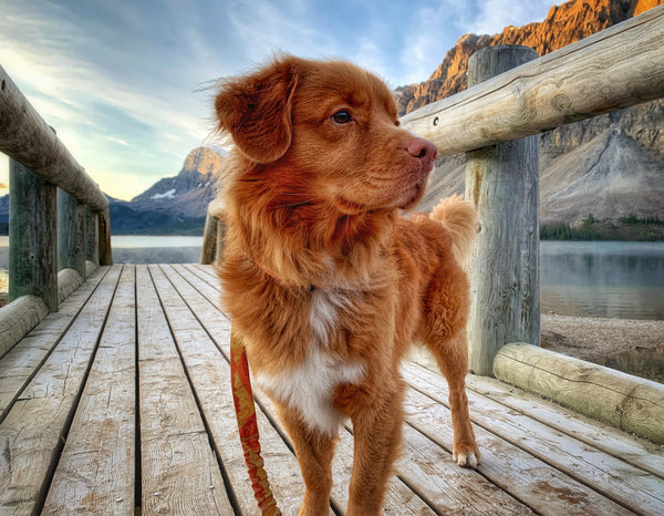Duck toller dog on bridge at bow lake