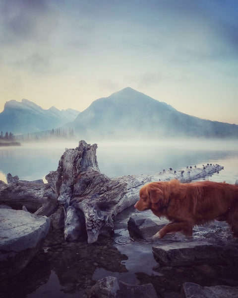 duck toller dog at vermillion lakes banff alberta