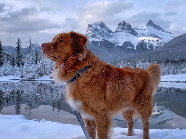 duck toller dog at three sisters, alberta sunrise in the winter