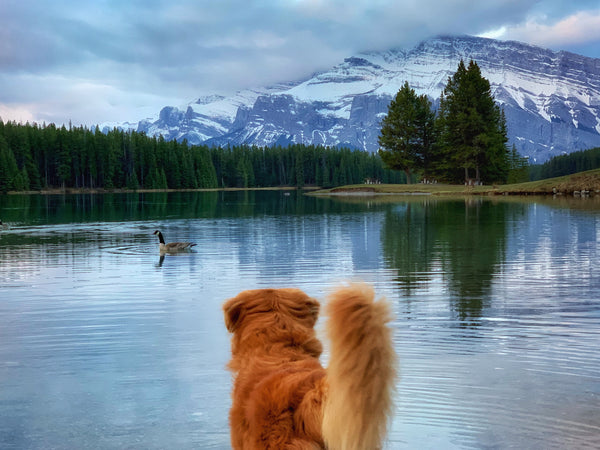 duck toller dog looking at a duck at two jack lake banff alberta