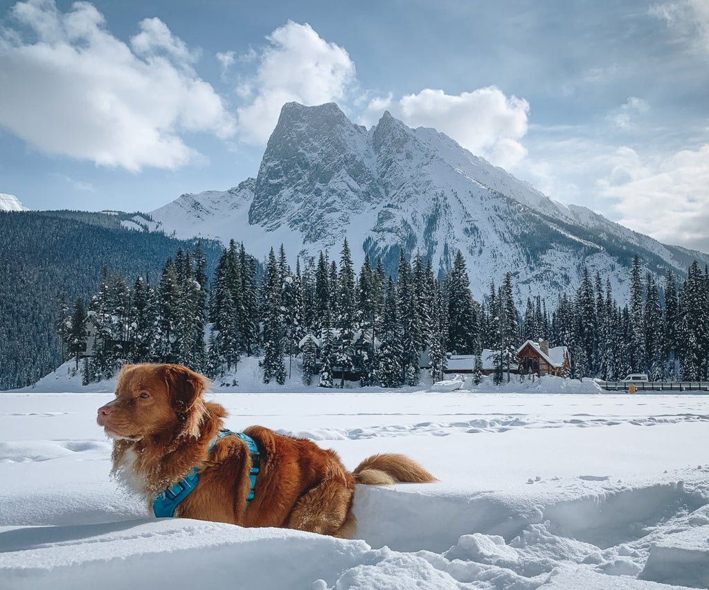 dog at emerald lake lodge with mountain in the background