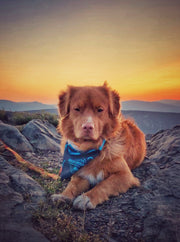 duck toller dog wearing a bandana
