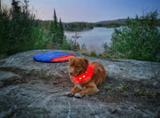 dog wearing led collar
