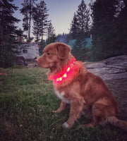 duck toller dog wearing led collar