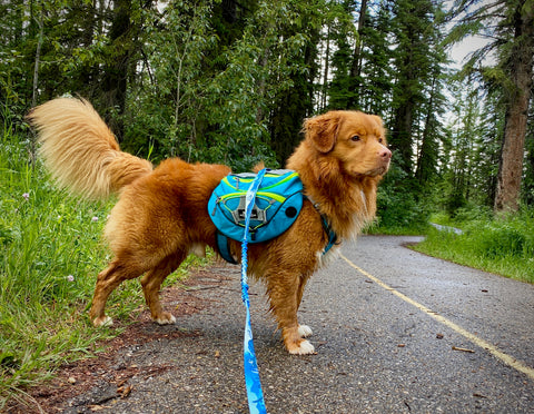 dog wearing backpack for day hikes and camping