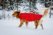 Butch the duck toller wears a size large in the red rocky mountain dog jacket coat