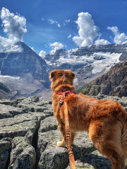 duck toller dog in the rocky mountains lake louise alberta