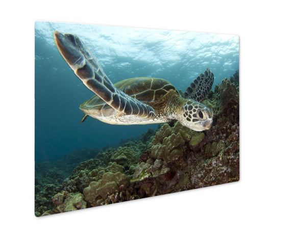 Metal Panel Print, Hawaiian Green Sea Turtles - VegasheatX