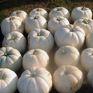 Black Warted Squash and White Pumpkin Mix