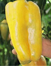 Yellow Monster Bell Pepper