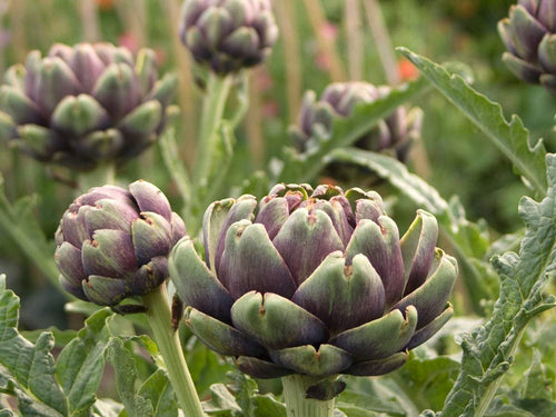 Imperial Star Purple Artichoke