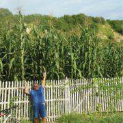Giant White Corn Stalks