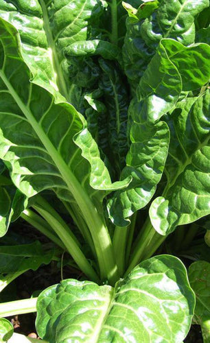 Perpetual Spinach Swiss Chard