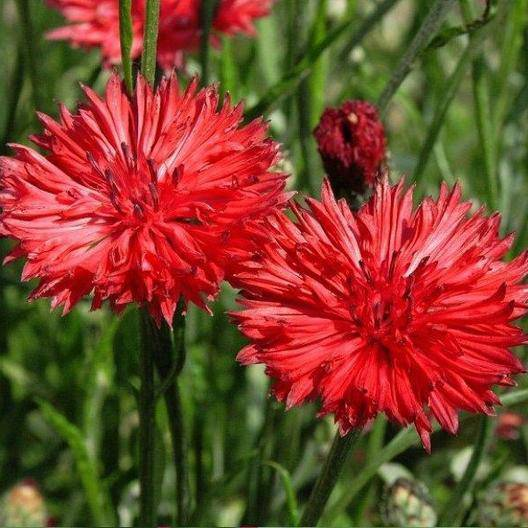 Red Bachelor Button Flowers