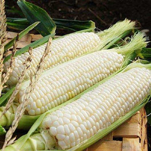 Silver Queen White Sweet Corn