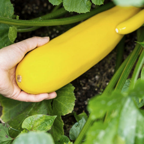 Large zucchini in vegetable garden